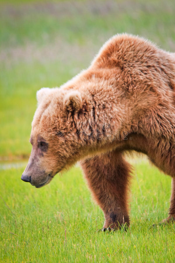 Alaska Brown Grizzly Bear Shoulder Hump. A male coastal brown bear in a sweet salt grass meadow in Hallo Bay, located in Katmai National Park in Alaska shows off stock image