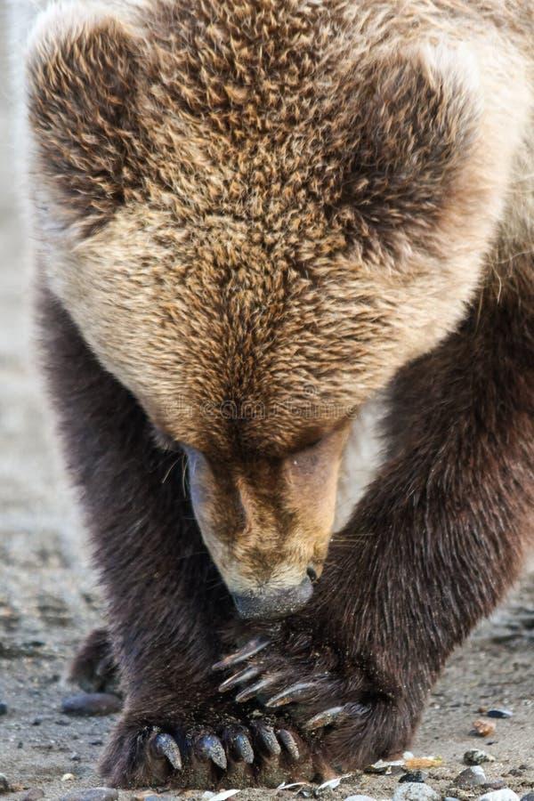 Alaska Brown grizzly Młody niedźwiedź Je milczka obrazy stock