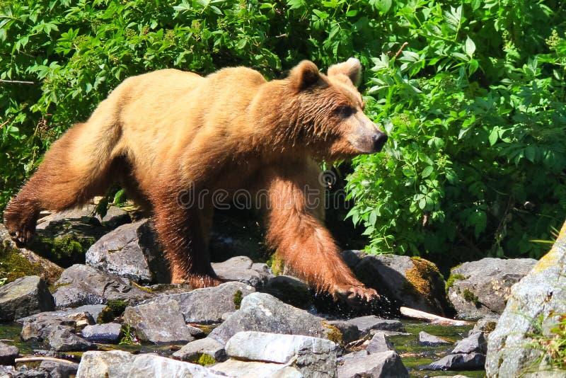 Alaska Brown grizzly niedźwiedź W Drodze obrazy stock