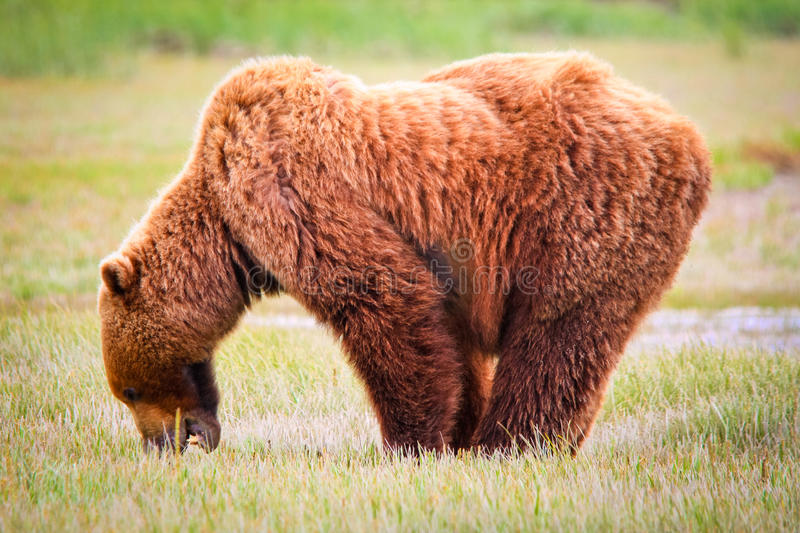 Alaska Brown Grizzly Standing and Eating. A male coastal brown bear grazing on new spring sweet salt grasses in a meadow in Hallo Bay, located in Katmai National royalty free stock photography