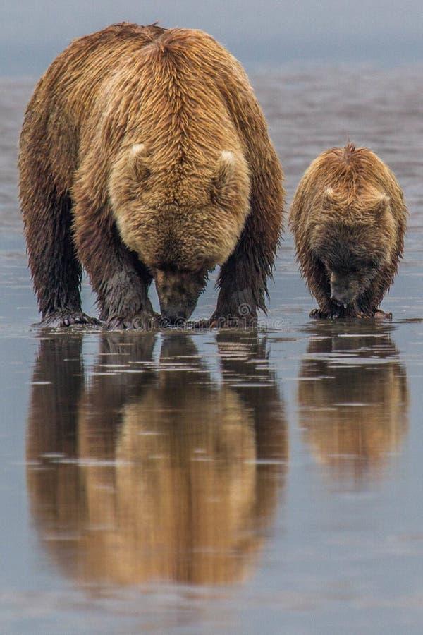 Alaska Brown niedźwiedzia lisiątko i matka obrazy stock