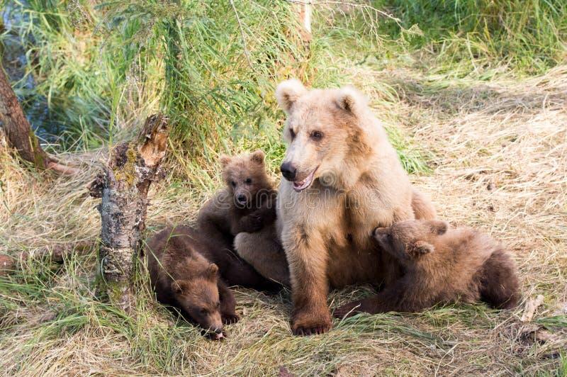 Alaska brown niedźwiedzia locha i lisiątka zdjęcie royalty free