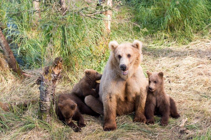 Alaska brown niedźwiedzia locha i lisiątka zdjęcia royalty free