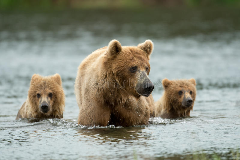Alaska brown niedźwiedzia locha i lisiątka fotografia stock