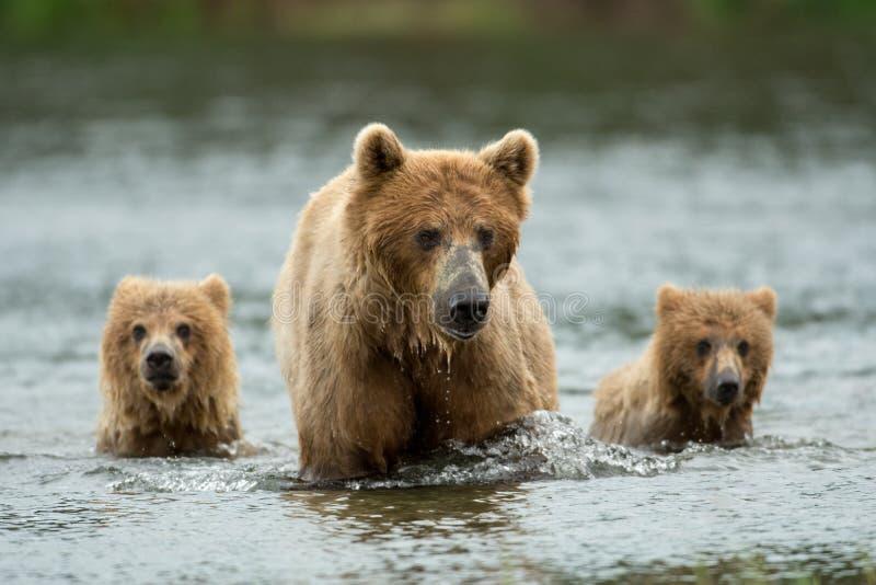 Alaska brown niedźwiedzia locha i lisiątka obrazy stock