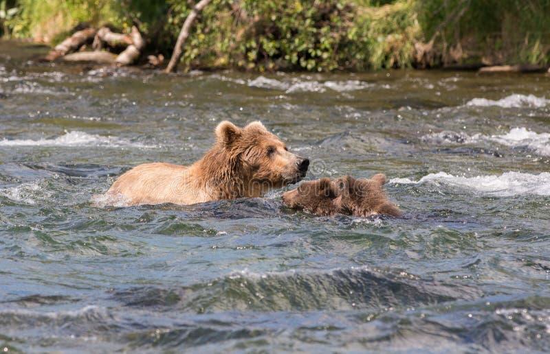 Alaska brown niedźwiedzia locha i lisiątka obraz royalty free
