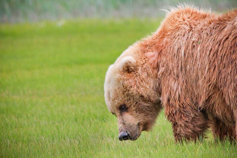 Alaska Brown niedźwiedzia Zielonej trawy łąka fotografia royalty free