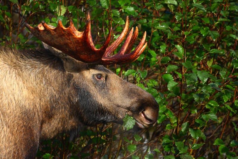 Alaska Bull Moose stock photography