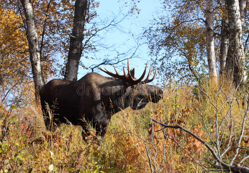 Alaska Bull Moose. In fall environment stock image