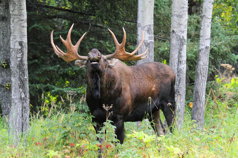 Download Alaska Bull Moose stock image. Image of nature, flehmen - 22402109