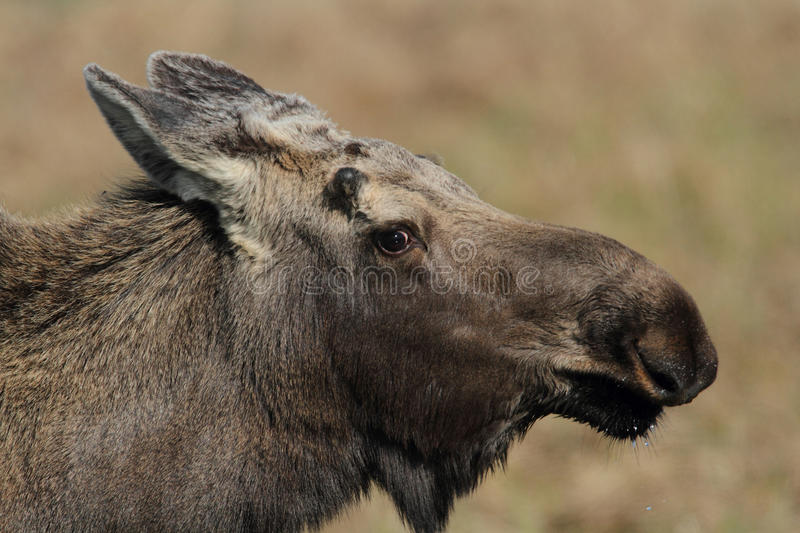 Download Alaska Bull Moose stock photo. Image of ears, nature - 22593228
