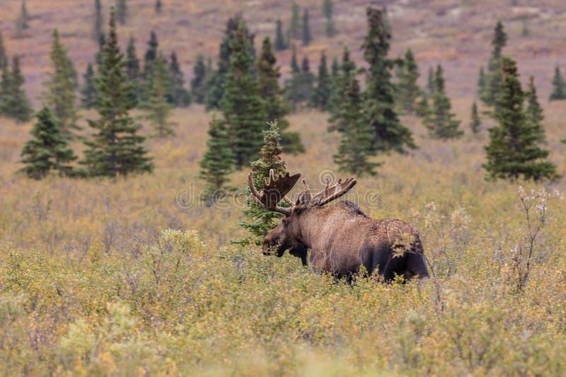 Alaska Bull Moose in Velvet. An Alaska Yukon bull moose in velvet in Denali National Park royalty free stock image