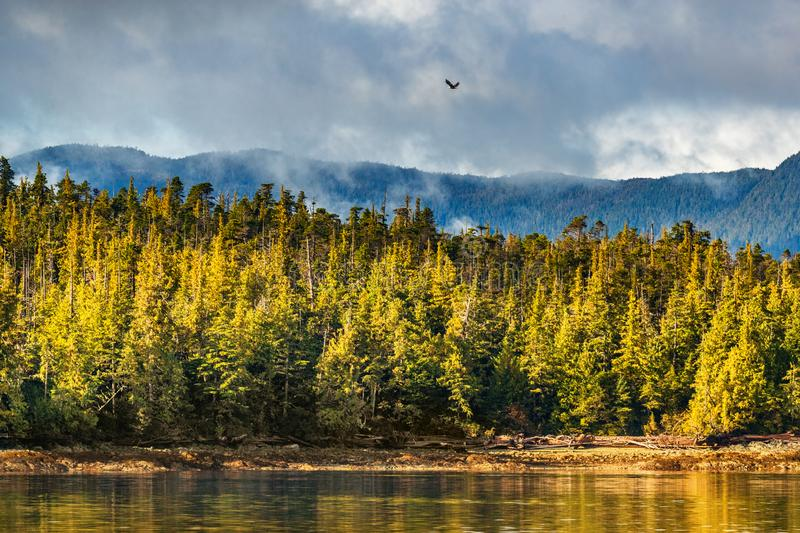 Alaska forest wildlife bird nature landscape shore background with bald eagle flying above pine trees coast in Ketchikan, USA. stock photography