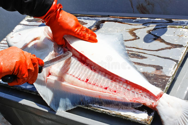 Download Alaska Fresh Halibut Fish Cleaning Stock Photo - Image: 29020150