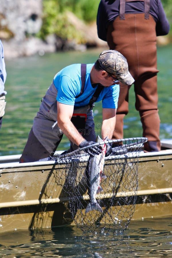 Alaska - guía de la pesca que zafa salmones imágenes de archivo libres de regalías