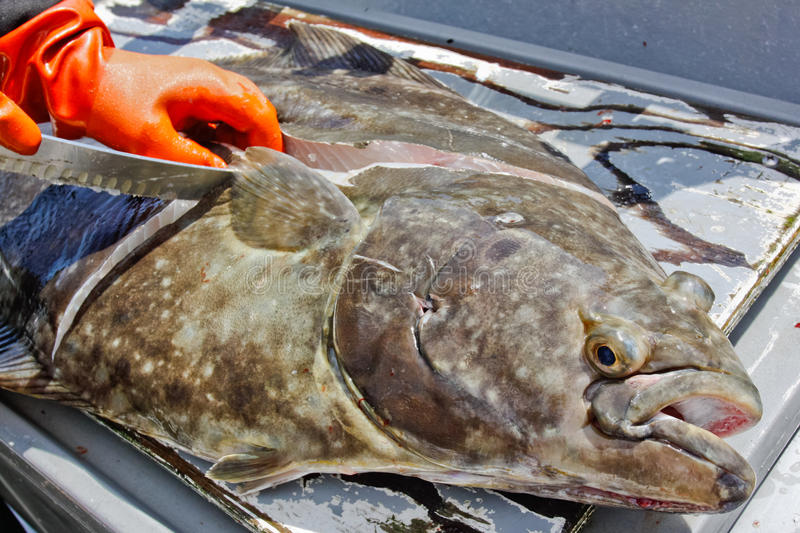 Alaska Halibut Fish Being Cleaned Royalty Free Stock Photo