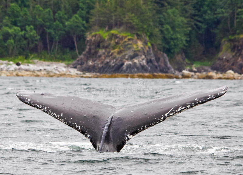 Alaska Humpback Tail Fluke 2. A clean shot of the width of the tail fluke of an adult Humpback whale preparing to dive off of Shelter Island near Juneau, Alaska royalty free stock image