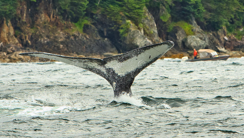 Alaska Humpback Whale Flame Dives 2. The unique underside pattern of the tail fluke of a Humpback whale named Flame off of Shelter Island near Juneau, Alaska as royalty free stock images