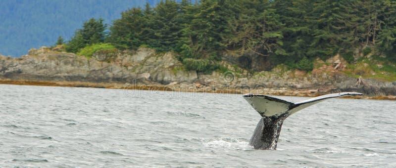 Alaska Humpback wieloryba płomienia nury zdjęcie royalty free