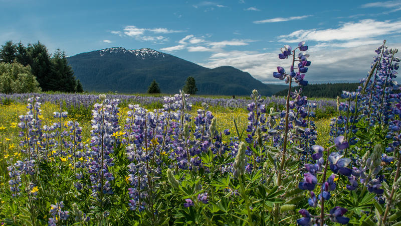 Alaska meadow and mountains royalty free stock photo