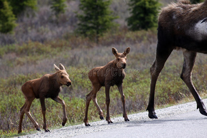 Download Alaska Moose Babies In Denali National Park Stock Image - Image: 10194235
