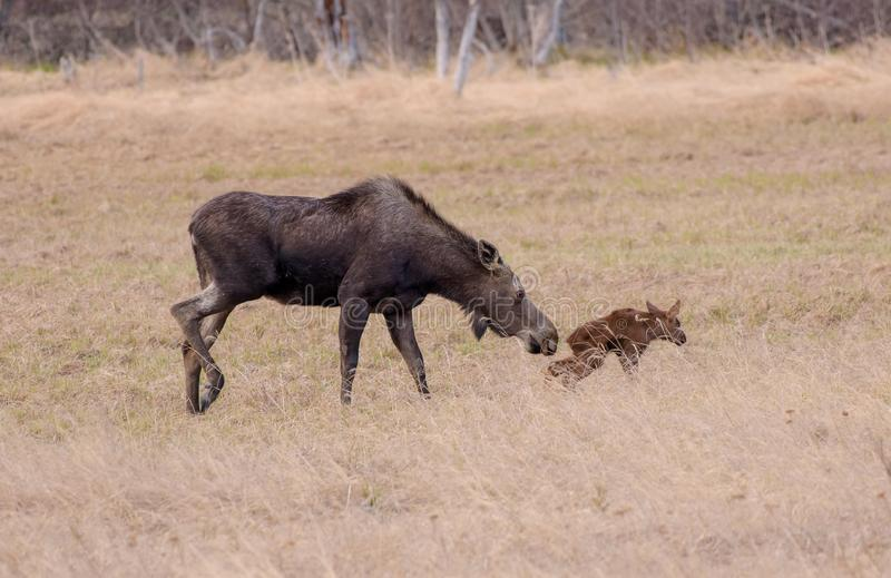 Alaska Moose Calve first step. Alaskan moose with her clave as he takes his first step. Adult moose can range in size from 800 pounds small adult female to1,600 stock photos