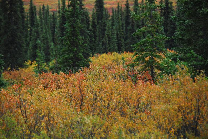 Alaska- Overview of Contrasting Colorful Forest and Bushes. Wonderful view of the beautiful contrasting colors and shapes of nature on the Kenai peninsula of stock photo