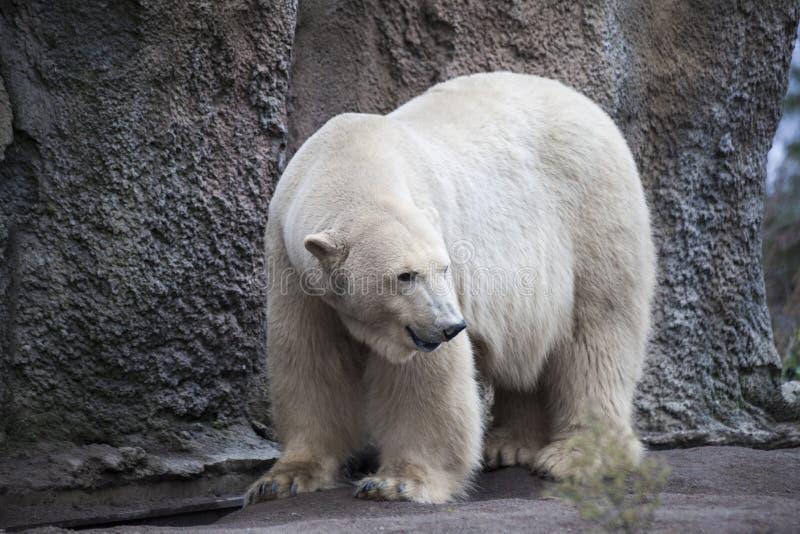 Alaska, polar bear. Big white bear in the spring in the forest . Polar bear is in Alaska, rocks, grass, cold spring. royalty free stock image