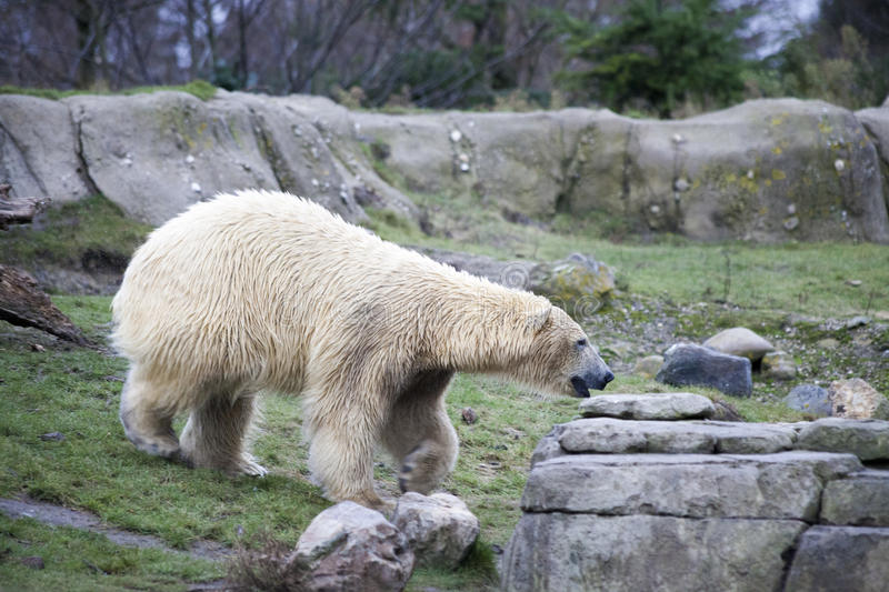 Alaska, polar bear. Big white bear in the spring in the forest . Polar bear is in Alaska, rocks, grass, cold spring. Big white bear in the spring in the forest stock photography