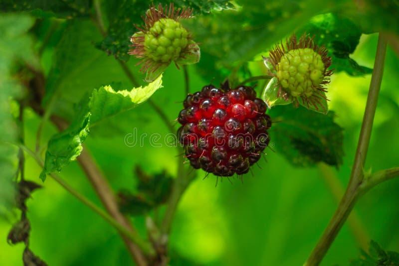 alaska rött skinande moget laxbär med gröna omogna laxbär och grön bakgrund arkivfoton