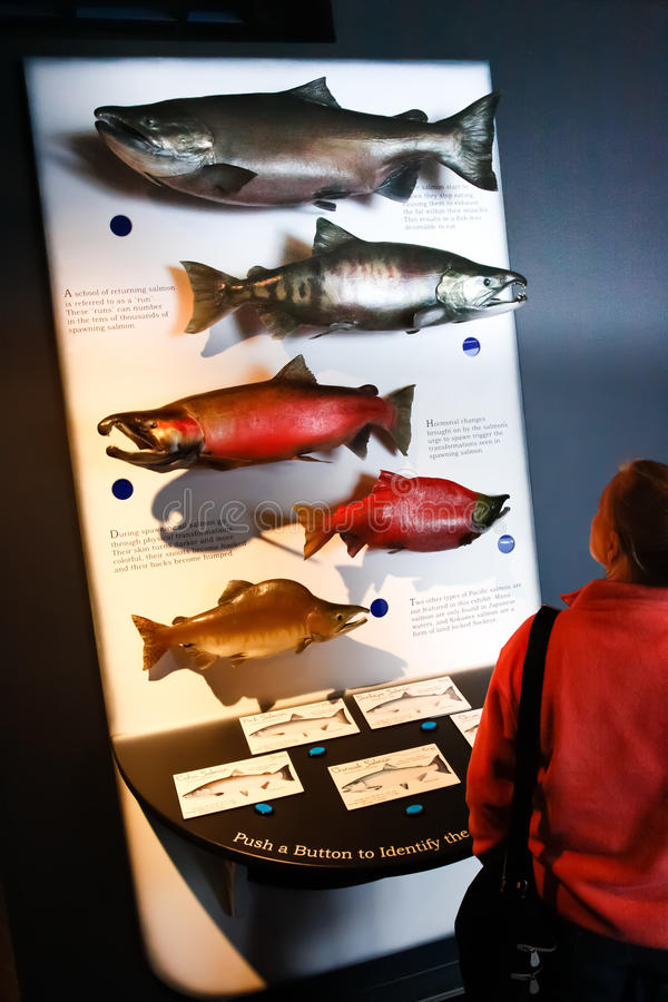 Alaska Sea Life Center Pacific Salmon Display royalty free stock photo