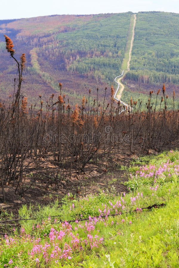 Alaska- - Trans-Alaska-Rohrleitungs-Blumen und Brandschaden stockbilder