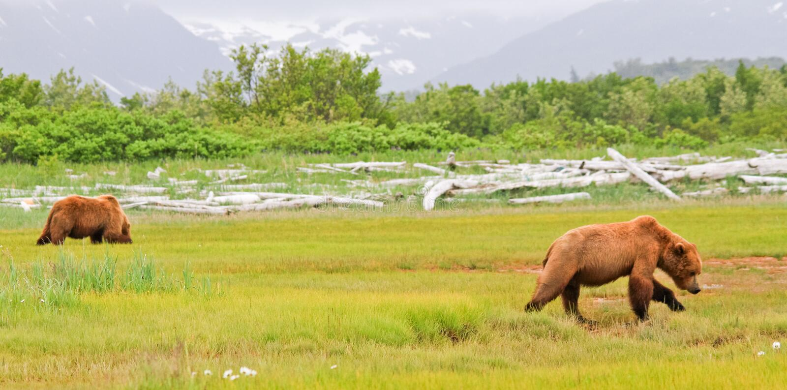Alaska Two Brown Grizzly Bears in a Meadow. Two young male coastal brown bears grazing on new spring sweet salt grasses in a meadow with a glacier in the royalty free stock photos