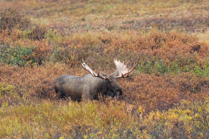 Alaska Yukon Bull Moose in Autumn in Alaska. An Alaska Yukon bull moose in autumn in Denali National Park Alaska stock photos