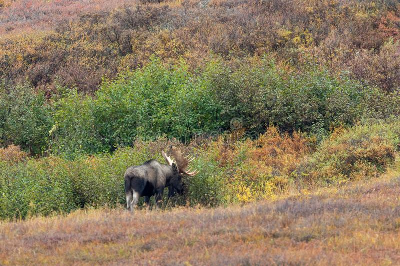 Alaska Yukon Bull Moose in Autumn in Alaska. An Alaska Yukon bull moose in autumn in Denali National Park Alaska royalty free stock photos