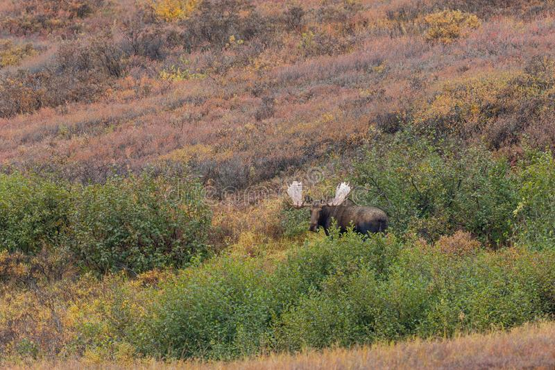 Alaska Yukon Bull Moose in Autumn. An Alaska Yukon bull moose in Denali National park in autumn royalty free stock images
