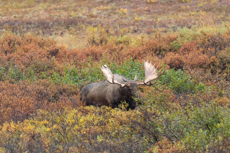 Alaska Yukon Bull Moose. An Alaska Yukon bull moose in autumn in Denali National Park Alaska royalty free stock image