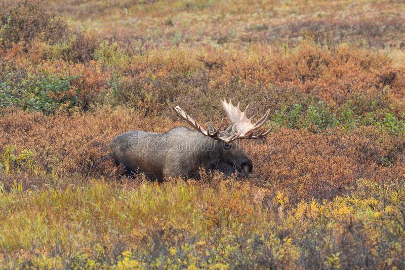 Alaska Yukon Bull Moose in Fall. An Alaska Yukon bull moose in autumn in Denali National Park Alaska stock photo