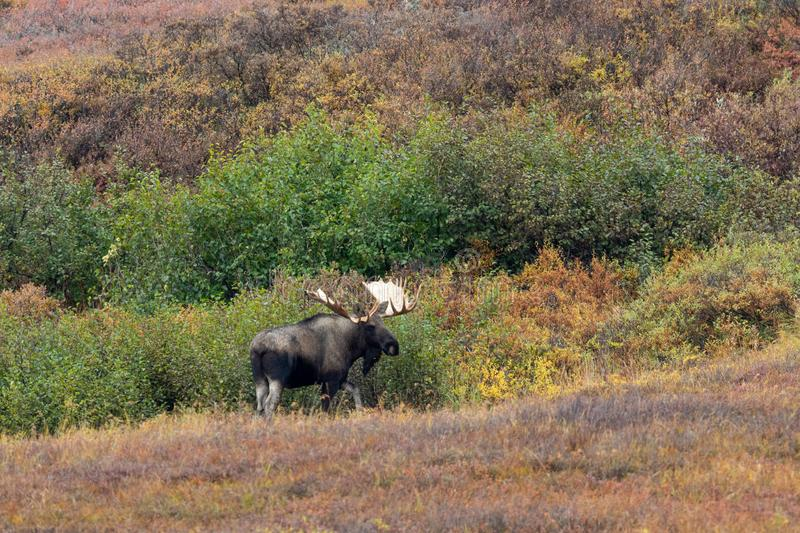 Big Alaska Yukon Bull Moose. An Alaska Yukon bull moose in autumn in Denali National Park Alaska royalty free stock image