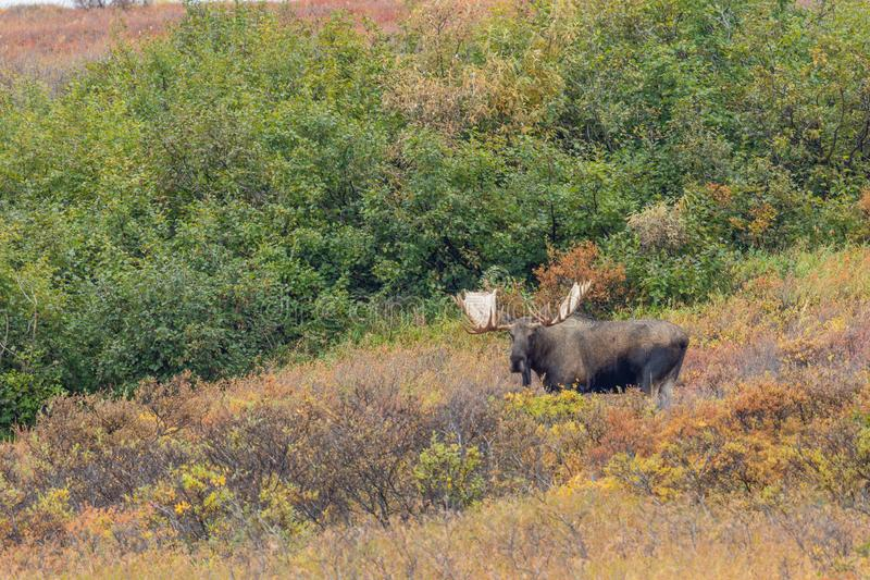 Alaska Yukon Bull Moose in Denali National Park. An Alaska Yukon bull moose in Denali National park in autumn stock photo