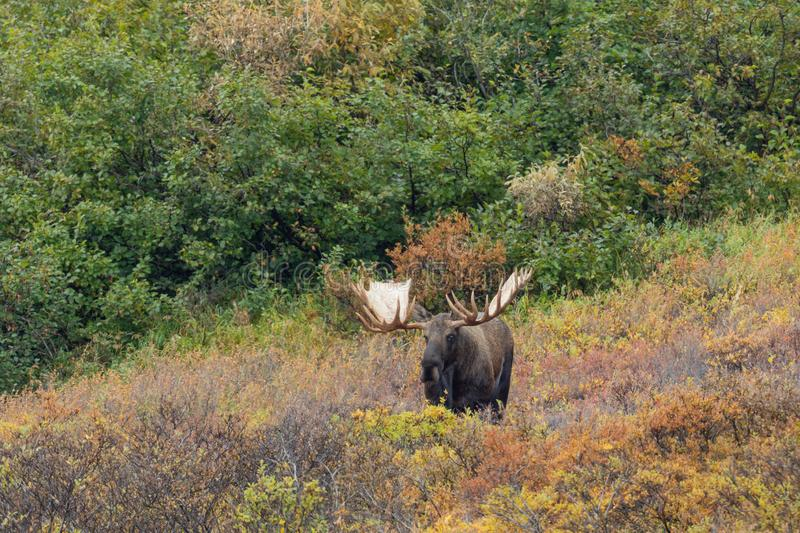 Alaska Yukon Bull Moose. An Alaska Yukon bull moose in Denali National park in autumn stock images
