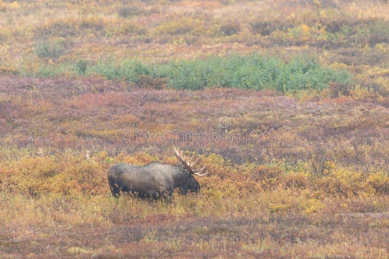 Bull Alaska Yukon Moose in Fall stock image
