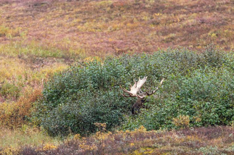 Bull Alaska Yukon Moose in Fall. An Alaska Yukon bull moose in Denali National Park in autumn stock images