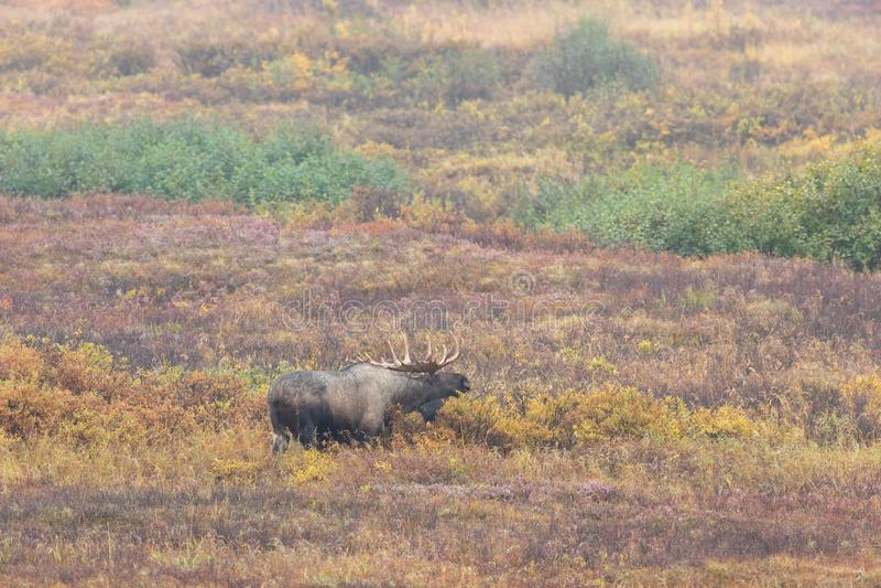 Bull Alaska Yukon Moose in Fall in Alaska stock photo