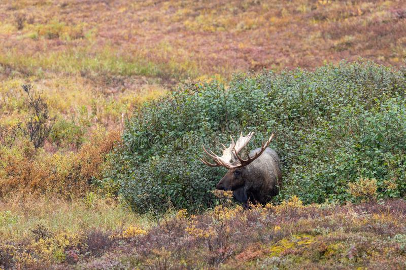 Alaska Yukon Bull Moose in Fall. An Alaska Yukon bull moose in Denali National Park in autumn stock image