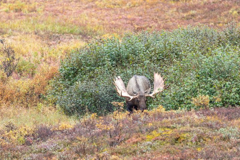 Alaska Yukon Bull Moose in Fall in Alaska. An Alaska Yukon bull moose in Denali National Park in autumn royalty free stock images