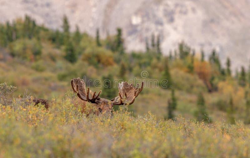 Alaska-Yukon tjurälg i sammet royaltyfria foton