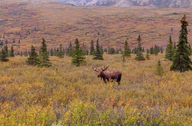 Alaska-Yukon tjurälg i sammet i nedgång arkivfoton