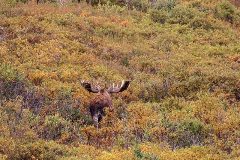 Alaska-Yukon tjurälg i sammet som bort går royaltyfri bild