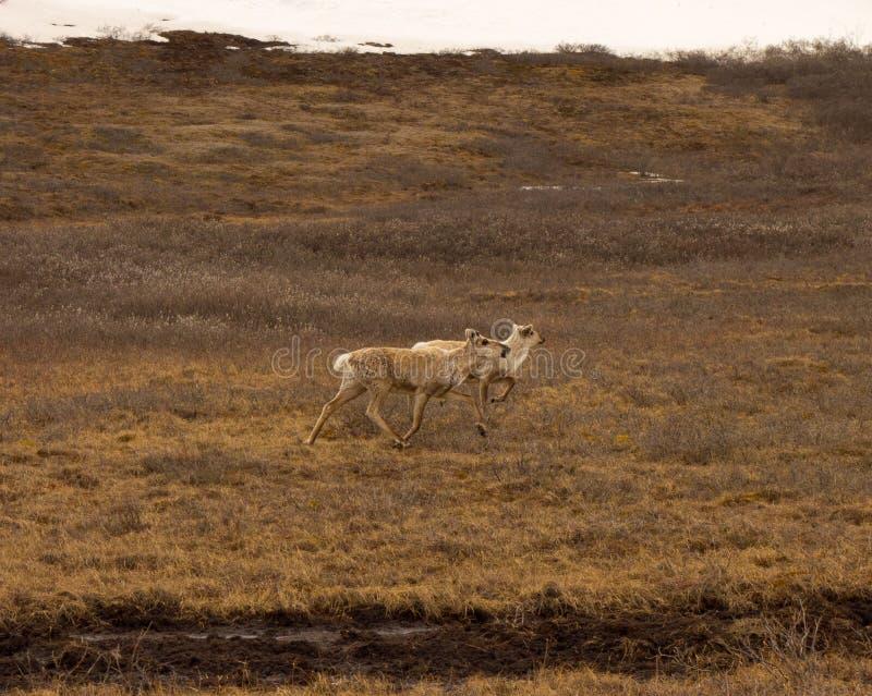 Alaskabo antilop längs den dalton huvudvägen arkivfoto